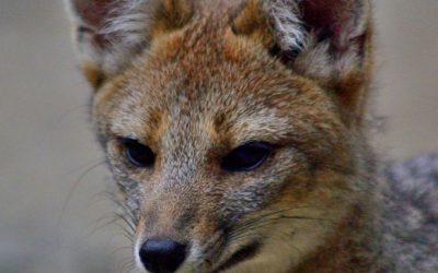 Entérate como proteger la Fauna Chilena en Peligro de Extinción